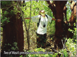 Two of Maui's precious native Wiliwili trees.
